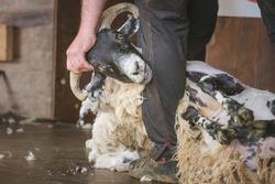 Close-up detail of sheep shearing as a shearer shears the wool off a male Scottish Blackface sheep ram (Ovis Aries) as part of rural farm life.