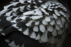 close up detail of spot pigeon wing feather with low  light photography