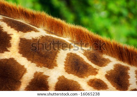 Close-up detail of the pattern of a giraffe's neck.