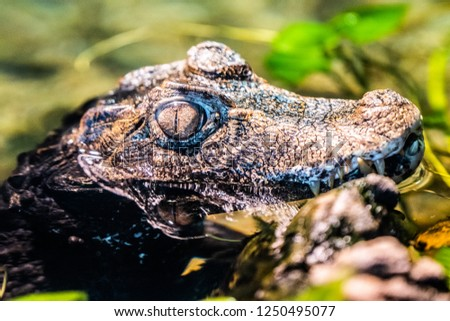 Close up Detail Picture of Young Juvenile Baby Alligator
