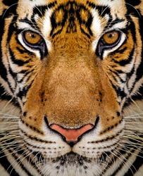 Close-up detail portrait of tiger, Beautiful face portrait of tiger. Striped fur coat.