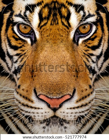 Close-up detail portrait of tiger, Beautiful face portrait of tiger. Striped fur coat. #521777974