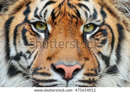 Close-up detail portrait of tiger. Sumatran tiger, Panthera tigris sumatrae, rare tiger subspecies that inhabits the Indonesian island of Sumatra. Beautiful face portrait of tiger. Striped fur coat. #475654012