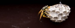 close up detail shot of a black yellow wasp on vespiary wasps' nest (panoramic format)
