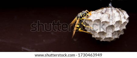 Photo of  close up detail shot of a black yellow wasp on vespiary wasps' nest (panoramic format)