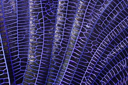 Close-up detailed macro shot of a dragonfly wing. 5x magnification.