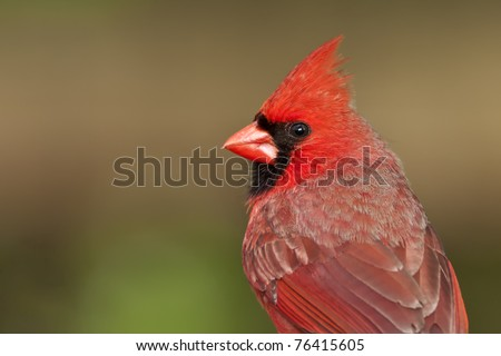Close-up, detailed portrait of a male Northern Cardinal (Cardinalis cardinalis)