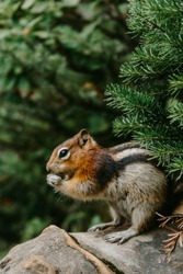 Close up/detailed view of cute chipmunk in Canadian Rockies. Green forest background.