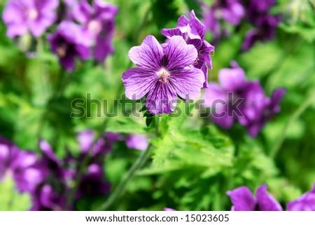 Close-up details of a Geranium sp. flower, selective focus.