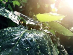 Close-up dew drops on leaves plant with light flare. Rain forest freshness background in rainy season.