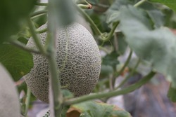 close up different focus blur green melon cantaloupe honeydew  hanging farm