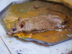 Close up Dirty rat in glue trap.Mice caught in a mouse trap