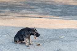 Close up dirty stray dog eating the bone on ground