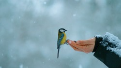 CLOSE UP, DOF: Beautiful shot of a trusting bird landing on woman's outstretched hand holding nuts and seeds to feed it on a freezing cold winter day. Great tit approaches a female during a snowstorm.