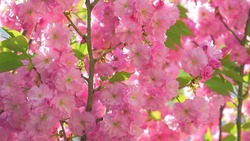 CLOSE UP, DOF: Detailed shot of a budding apple tree blossoming at the peak of spring. Gorgeous colorful orchard is filled with pink fruit tree blossoms opening up in the warm springtime sunshine
