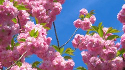 CLOSE UP, DOF: Fruit tree branch filled with pink blossoms sways gently on sunny day in spring. Tranquil orchard is filled with gorgeous pink fruit tree blossoms opening up in springtime sunshine.
