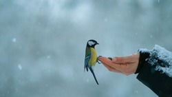 CLOSE UP, DOF: Great tit approaches a female trying to feed wandering birds during a severe snowstorm. Beautiful shot of a trusting bird landing on woman's outstretched hand holding nuts and seeds.