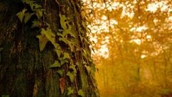 CLOSE UP, DOF: Ivy climbs up the trunk of a towering old tree in the middle of a fall colored forest in Slovenia. Scenic view of a sunset in the heart of a forest changing leaves at the peak of autumn