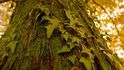 CLOSE UP, DOF: Lush green moss and ivy grow over the thick trunk of a towering tree in a remote golden lit forest. Detailed shot of moss and ivy covered tree in the woods changing colors in autumn.