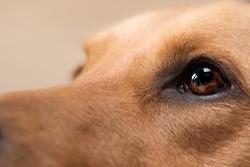 Close up dog eye