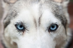 Close up dog face with blue eyes. Husky dog glance