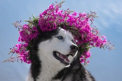 Close-up dog portrait with floral crown on blue water background. Dog with wreath of pink flowers. Siberian Husky black and white colour outdoors. Summertime. A pedigreed purebred dog