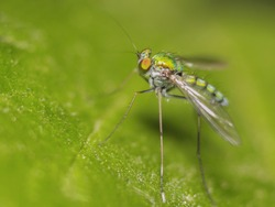 Close up Dolichopodidae, the long-legged fly