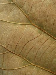 close up dry teak leaf texture