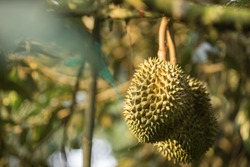 Close up durians on the durian tree in durian orchard . King of fruit.