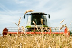 close-up ears of wheat at field and harvesting machine on background. Combine out of focus