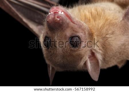 Shutterstock Close-up Egyptian fruit bat or rousette, Rousettus aegyptiacus. on isolated black background