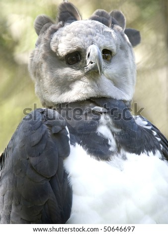 close up endangered rare male adult harpy eagle, panama, central america. exotic bird eagle parrot in lush tropical jungle country