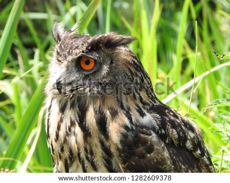 Close up Eurasian European eagle-owl. Bubo. Portrait. Macro. Part of a serie of pictures.