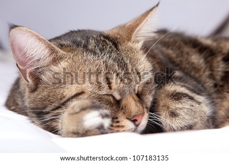 close-up european cat in front on a gray background