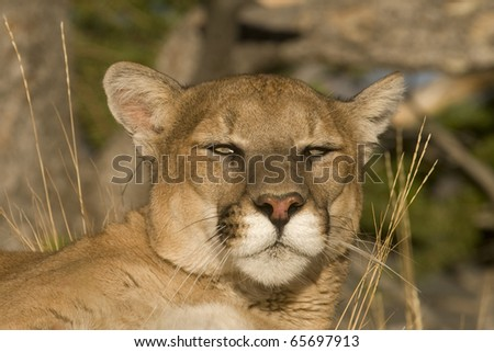 Close up Expression of a Mountain Lion at Rest