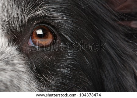 close-up eye from a border collie dog