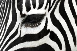 Close Up Eye Of Zebra
