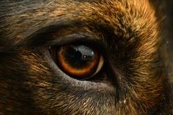 Close up eye on a Golden retriever + Australian shepherd mix.