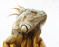 Close up face green iguana isolated on white background.