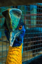 Close-up face image of a wingless cassowary bird with very curious eyes and big horn on top of the head.