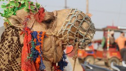 Close up face of a domesticated Camel found in the hot and cold deserts.