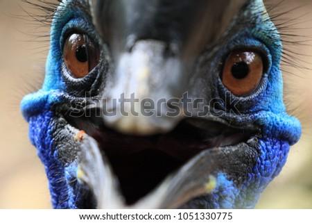 Close up face of Beautiful Cassowary Bird have vivid blue color. beak look like smile
