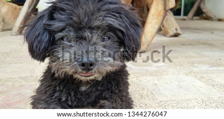 Close up face of Cute black Shih Tzu dog looking and sitting on the ground - Animal and Pet concept   #1344276047