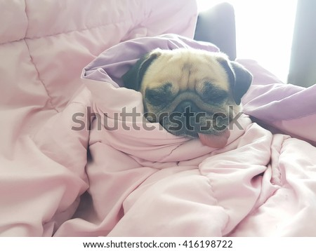 stock photo close up face of cute dog puppy pug sleep rest on sofa bed with tongue out and wrap blanket because 416198722 - Каталог — Фотообои «Животные»