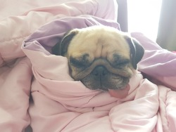 Close up face of cute dog puppy pug sleep rest on sofa bed with tongue out and wrapped blanket because of weather cold