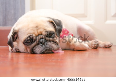 Close-up face of Cute pug fat dog sleeping rest by chin and tongue lay down on laminate floor