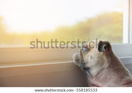 Close-up Face of Cute Pug Puppy Dog Looking Out a Window, alone like forsake and waiting owner with copy space for label text