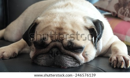 Close up face of Cute pug puppy dog sleeping in sofa