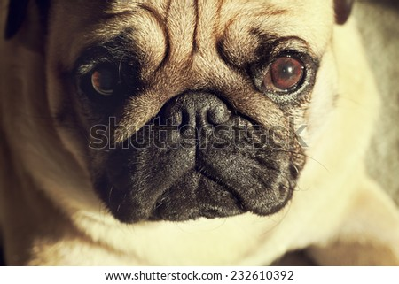 Close up face of Cute pug puppy dog sleeping in sunshine