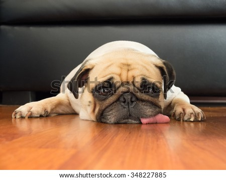 Close-up face of Cute pug puppy dog sleeping rest open eye by chin and tongue lay down on laminate floor #348227885